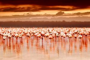 African Flamingos in the Lake over Beautiful Sunset by Anna Omelchenko