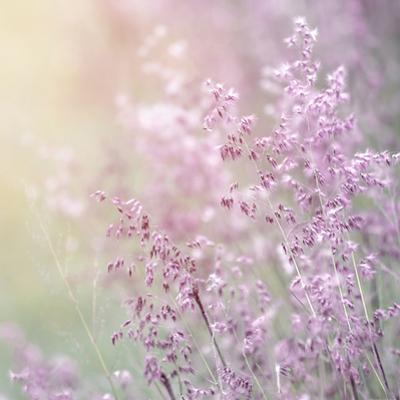 Background of Beautiful Lavender Color Flower Field by Anna Omelchenko