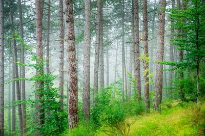 Beautiful Pine Tree Forest, Abstract Natural Background, Misty Woods in the Morning, Amazing Nature
