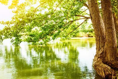 Beautiful River Landscape, Reflection of Big Tree in Calm Water, Forest Nature, Bright Yellow Sunli