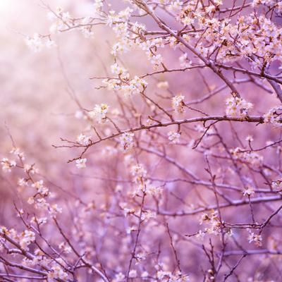 Beautiful Tender Cherry Tree Blossom in Morning Purple Sun Light