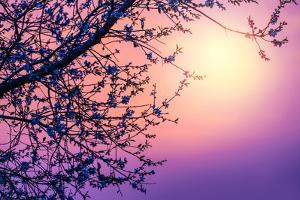 Cherry Tree Flower Blossom over Purple Sunset by Anna Omelchenko
