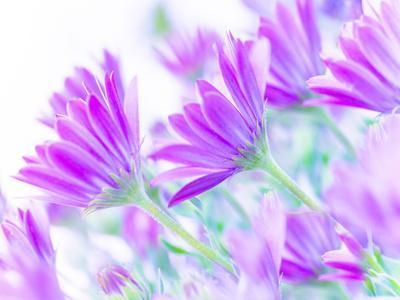 Closeup on Gentle Pink Daisy Flowers, Fresh Chamomile Field