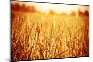 Golden Ripe Wheat Field, Sunny Day by Anna Omelchenko