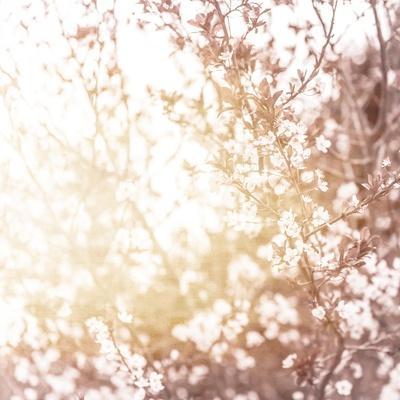 Photo of Beautiful Cherry Blossom