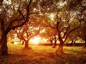 Picture of Beautiful Orange Sunset in Olive Trees Garden by Anna Omelchenko