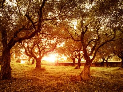 Picture of Beautiful Orange Sunset in Olive Trees Garden