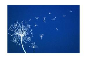 Cyanotype Dandelion by Anna Quach