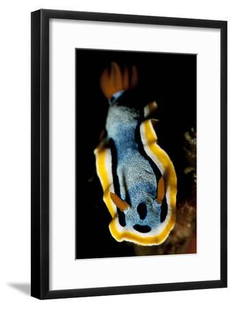 Anna's Chromodoris Nudibranch Sea Slug