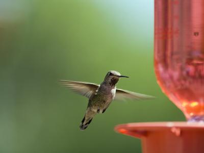 Anna's Hummingbird at a Feeder, Oak View, California-Rich Reid-Photographic Print