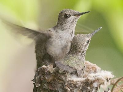 Anna's Hummingbird (Calypte Anna) Trying Out its New Wings from the Nest, Irvine, California-Hal Beral-Photographic Print