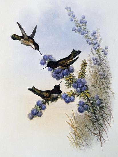 Anna's Hummingbird (Calypte Anna)-John Gould-Giclee Print