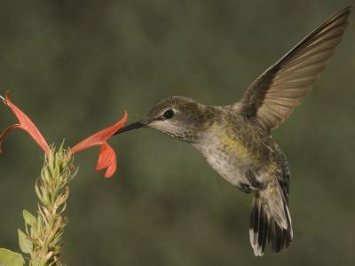 Anna's Hummingbird Female (Calypte Anna) Feeding at a Red Tubular Justicia Candicans Flower, USA-Charles Melton-Photographic Print