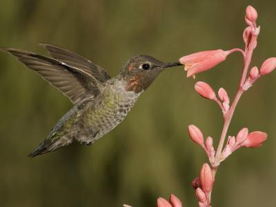 Anna's Hummingbird Male (Calypte Anna) Feeding at a Red Tubular Flower, Arizona, USA-Charles Melton-Photographic Print