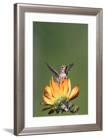 Anna's Hummingbird, Santa Cruz, California, USA-Tom Norring-Framed Photographic Print