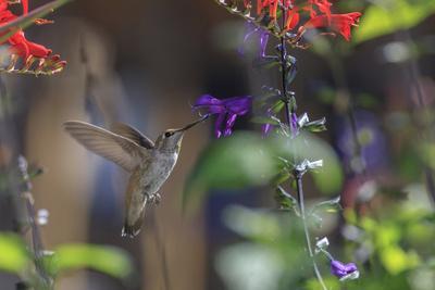 Anna's Hummingbird, Santa Cruz, California, USA-Tom Norring-Photographic Print