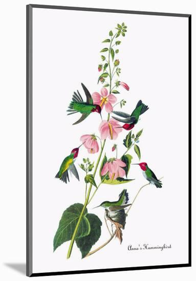 Anna's Hummingbird-John James Audubon-Mounted Premium Giclee Print