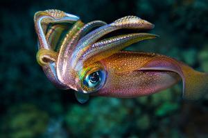 Squid by Anna Shvab
