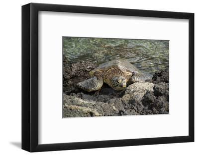 A Green Sea Turtle Rests on Lava Rocks Along the Kona Coast