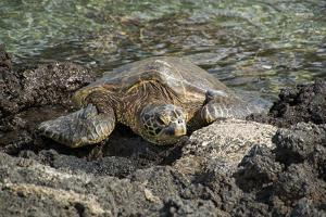 A Green Sea Turtle Rests on Lava Rocks Along the Kona Coast by Anne Keiser