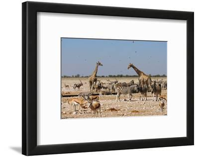 A Group of Animals at the Watering Hole, Giraffe, Springbok, Gemsbok and Zebra