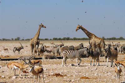 A Group of Animals at the Watering Hole, Giraffe, Springbok, Gemsbok and Zebra