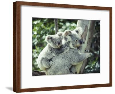A Koala Bear Hugs a Tree While Her Baby Clings to Her Back