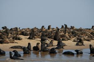 A Large Group of Cape Fur Seals Along the Shoreline, Swakopmund Town, Namibia by Anne Keiser