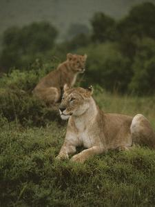 African Lionesses by Anne Keiser