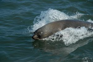 Cape Fur Seal in the Sea, Swakopmund Town, Namibia by Anne Keiser