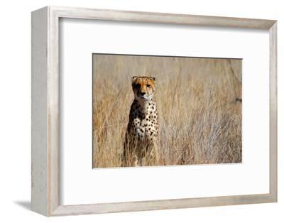 Cheetah in the Grasses, the Cheetah Conservation Fund, Namibia