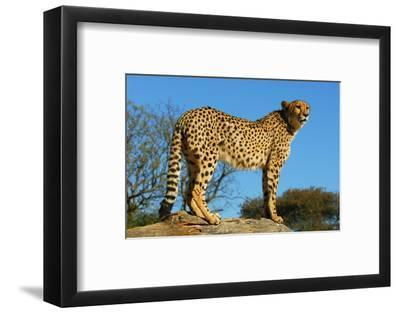 Cheetah, the Cheetah Conservation Fund, Namibia