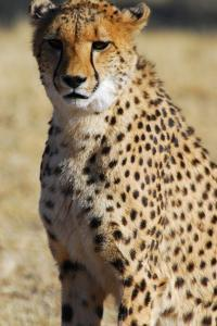 Close-Up of a Cheetah, the Cheetah Conservation Fund, Namibia by Anne Keiser