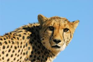 Close-Up of Cheetah, the Cheetah Conservation Fund, Namibia by Anne Keiser