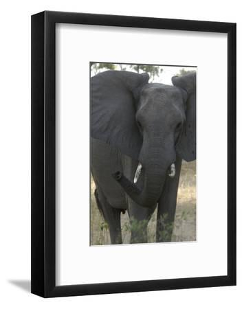 Close-Up of Elephant, Upper Vumbura Plains, Botswana