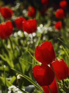 Close View of Tulip Bulbs by Anne Keiser