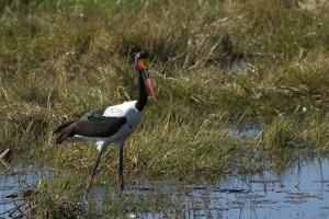 Saddle-Billed Stork, Selinda Camp, Botswana by Anne Keiser