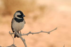 Sparrow in Area of Sossusvlei Dunes, Namibia by Anne Keiser