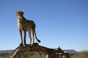 The Cheetah Conservation Fund, Namibia by Anne Keiser