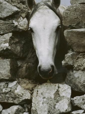 The Head of a White Connemara Pony Pokes Through a Gap in a Stone Wall