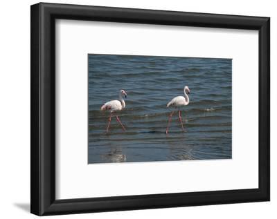 Two Greater Flamingos Along Shoreline, Swakopmund Town, Namibia
