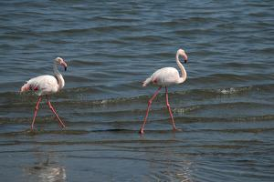 Two Greater Flamingos Along Shoreline, Swakopmund Town, Namibia by Anne Keiser