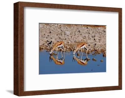 Two Springbok Antelopes Drink at the Edge of a Waterhole, Etosha National Park, Namibia