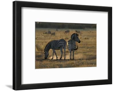 Two Zebras, Selinda Camp, Botswana
