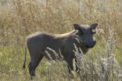 Warthog, Upper Vumbura Plains, Botswana by Anne Keiser