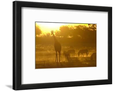 Zebras, and Giraffe, Selinda Camp, Botswana