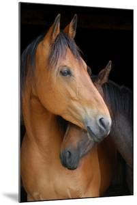 Head Shot of Horse and Pony Hugging on Dark B/G by Anne Louise MacDonald