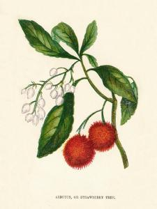 'Arbutus, or Strawberry Tree', c1891, (1891) by Anne Pratt