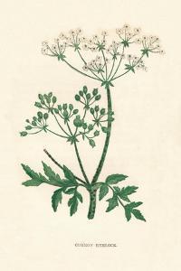 'Common Hemlock', c1891, (1891) by Anne Pratt