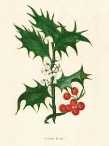 'Common Holly', c1891, (1891) by Anne Pratt